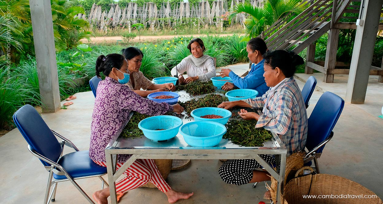 Cambodia-Kampot-Pepper-plantation-1